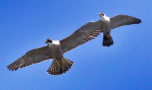 A Pair of Peregrines